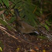 South Island saddleback. Jackbird (immature). Anchor Island, Dusky Sound, March 2011. Image © Colin Miskelly by Colin Miskelly
