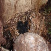 South Island saddleback. Chicks in nest in hollow rata. Ulva Island, Stewart Island, January 2009. Image © Peter Tait by Peter Tait Courtesy Peter Tait http://www.sailsashore.co.nz, tait@sailsashore.co.nz