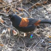 South Island saddleback. Adult foraging on the ground. Ulva Island, December 2015. Image © David Rintoul by David Rintoul