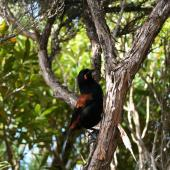 South Island saddleback. Adult on tree trunk. Anchor Island, November 2005. Image © Matt Charteris by Matt Charteris