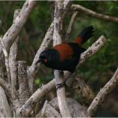 South Island saddleback. Adult. Kundy Island, March 2011. Image © Colin Miskelly by Colin Miskelly