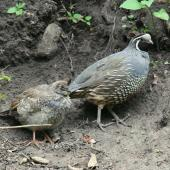 California quail. Adult male with juvenile. Park Island, Napier, January 2012. Image © Adam Clarke by Adam Clarke