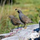 California quail. Adult pair (female left). Riversdale,  Wairarapa, November 2011. Image © Peter Reese by Peter Reese