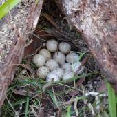 California quail. Nest with 13 eggs. Kerikeri, January 2012. Image © Colin Miskelly by Colin Miskelly