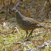 California quail. Adult female in profile. Hot Water Beach,  Coromandel. Image © Noel Knight by Noel Knight
