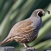 California quail. Adult male. Nelson, December 2011. Image © Rebecca Bowater FPSNZ by Rebecca Bowater  FPSNZ Courtesy of Rebecca Bowaterwww.floraandfauna.co.nz