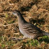 California quail. Adult female. Wanganui, August 2009. Image © Ormond Torr by Ormond Torr