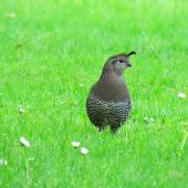 California quail. Front view of adult female. Waitangi, October 2012. Image © Thomas Musson by Thomas Musson tomandelaine@xtra.co.nz