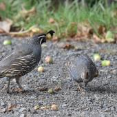 California quail. Adult pair (male on left). Whitford area, Auckland, February 2016. Image © Marie-Louise Myburgh by Marie-Louise Myburgh