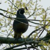 California quail. Male with two head plumes in silhoette. Waikato, October 2012. Image © Joke Baars by Joke Baars