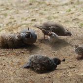 California quail. Covey dust bathing. Hamilton Zoo, January 2016. Image © Alan Tennyson by Alan Tennyson