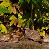 California quail. Female with covey. Pukawa, January 2013. Image © Albert Aanensen by Albert Aanensen