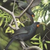 Huia. Image 2006-0010-1/11 from the series 'Extinct birds of New Zealand'. Masterton. Image © Purchased 2006. © Te Papa by Paul Martinson See Te Papa website: http://collections.tepapa.govt.nz/objectdetails.aspx?irn=711025&page=2&term=huia