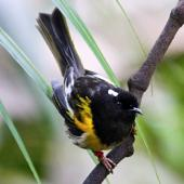 Stitchbird. Adult male. Kapiti Island, November 2015. Image © Paul Le Roy by Paul Le Roy