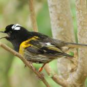 Stitchbird. Male singing. Waitakere Ranges, Auckland, April 2010. Image © Suzi Phillips by Suzi Phillips