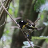 Stitchbird. Adult male. Karori Sanctuary / Zealandia, December 2011. Image © Bart Ellenbroek by Bart Ellenbroek