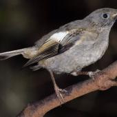 Stitchbird. Juvenile. Kapiti Island, February 2007. Image © Peter Reese by Peter Reese