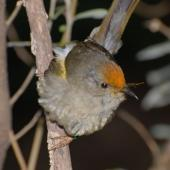 Stitchbird. Juvenile male with flax pollen on head. Tiritiri Matangi Island, November 2008. Image © Peter Reese by Peter Reese