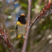 Stitchbird. Male feeding on flax . Tiritiri Matangi Island, November 2008. Image © Peter Reese by Peter Reese