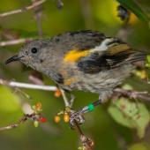 Stitchbird. Immature male. Tiritiri Matangi Island, March 2012. Image © John and Melody Anderson, Wayfarer International Ltd by John and Melody Anderson Love our Birds®  www.wayfarerimages.co.nz