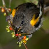 Stitchbird. Immature male eating karamu berries. Tiritiri Matangi Island, March 2012. Image © John and Melody Anderson, Wayfarer International Ltd by John and Melody Anderson Love our Birds® | www.wayfarerimages.co.nz
