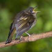 Stitchbird. Juvenile. Bushy Park, December 2015. Image © John and Melody Anderson, Wayfarer International Ltd by John and Melody Anderson Love our Birds®  www.wayfarerimages.co.nz