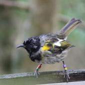 Stitchbird. Immature male. Tiritiri Matangi Island, April 2013. Image © David Brooks by David Brooks