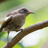 Stitchbird. Juvenile female. Tiritiri Matangi Island, February 2014. Image © Laurie Ross by Laurie Ross Courtesy Laurie Ross Photography http://laurieross.com.au/