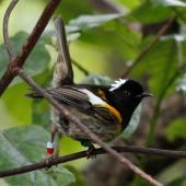 Stitchbird. Adult male. Karori Sanctuary / Zealandia, November 2010. Image © Duncan Watson by Duncan Watson