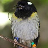 Stitchbird. Adult male with sublingual oral fistula (protruding tongue). Karori Sanctuary / Zealandia, November 2017. Image © Robert Hanbury-Sparrow by Robert Hanbury-Sparrow