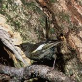 Stitchbird. Adult female at nest entrance. Little Barrier Island. Image © Department of Conservation (image ref: 10028869) by Dick Veitch, Department of Conservation Courtesy of Department of Conservation