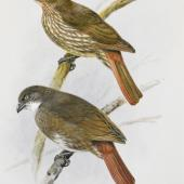 North Island piopio. South Island thrush (piopio) / North Island thrush ( piopio). Image 1992-0035-2366/89. United Kingdom. Image © © Te Papa by George Edward Lodge See Te Papa website: http://collections.tepapa.govt.nz/objectdetails.aspx?irn=653243&term=piopio
