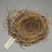 South Island piopio. Nest, no data. Acquisition history unknown. Specimen registration no. OR.027635; image no. MA_I213880. Otago Province. Image © Te Papa See Te Papa website: http://collections.tepapa.govt.nz/objectdetails.aspx?irn=717738&term=OR.027635