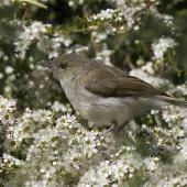 Grey warbler. Juvenile hunting insects among kanuka flowers. Sinclair Wetlands Otago, December 2012. Image © Steve Attwood by Steve Attwood http://www.flickr.com/photos/stevex2/