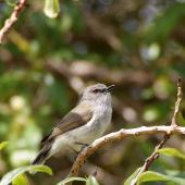 Grey warbler. Adult singing. Kaiteriteri, Tasman Bay, October 2013. Image © Rob Lynch by Rob Lynch