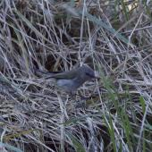 Grey warbler. Adult foraging among grass. A'Deanes Bush, Central Hawkes Bay, August 2016. Image © Cheryl Walton by Cheryl Walton