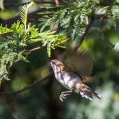 Grey warbler. Adult in flight. Hunterville, Rangitikei, July 2015. Image © Sandy Abbot by Sandy Abbot https://sandysview.wordpress.com