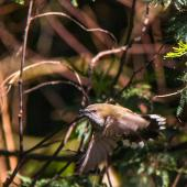 Grey warbler. Adult in flight. Hunterville, Rangitikei, July 2015. Image © Sandy Abbot by Sandy Abbot https://sandysview.wordpress.com
