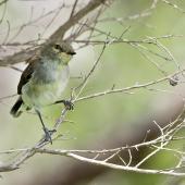 Grey warbler. Fledgling. Tawharanui Regional Park, December 2015. Image © John and Melody Anderson, Wayfarer International Ltd by John and Melody Anderson Love our Birds®| www.wayfarerimages.co.nz