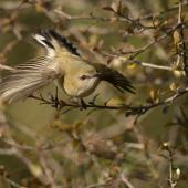 Grey warbler. Adult, take off. Dunedin, July 2012. Image © Craig McKenzie by Craig McKenzie Craig McKenzie