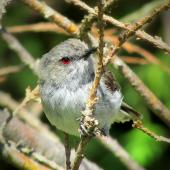 Grey warbler. Adult male. Ohakune, December 2014. Image © Oscar Thomas by Oscar Thomas https://www.flickr.com/photos/kokakola11