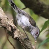 Grey warbler. Adult with a caterpillar. Eastbourne, December 2015. Image © Robert Hanbury-Sparrow by Robert Hanbury-Sparrow