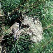 Grey warbler. Adult at nest. Pukepuke Lagoon, Manawatu, September 1969. Image © Department of Conservation (image ref: 10031556) by John Kendrick Courtesy of Department of Conservation