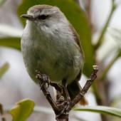Chatham Island warbler. Adult male. Pitt Island, December 2010. Image © Duncan Watson by Duncan Watson