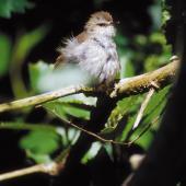 Chatham Island warbler. Adult male sunbathing. Rangatira Island, Chatham Islands. Image © Helen Gummer by Helen Gummer