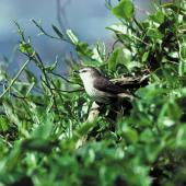 Chatham Island warbler. Adult male. Mangere Island, Chatham Islands, October 1980. Image © Department of Conservation by Dave Crouchley Courtesy of Department of Conservation