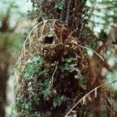 Chatham Island warbler. Nest on tree fern. South-west Chatham Island, December 1978. Image © Colin Miskelly by Colin Miskelly
