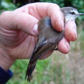 Chatham Island warbler. Adult male in hand. Rangatira Island, February 2009. Image © Graeme Taylor by Graeme Taylor