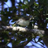 Chatham Island warbler. Adult male with a caterpillar. Taiko Camp, Chatham Island, October 2011. Image © Mark Fraser by Mark Fraser