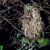 Chatham Island warbler. Nest containing chicks. Chatham Islands. Image © Department of Conservation (image ref: 10047913) by Allan Munn, Department of Conservation Courtesy of Department of Conservation